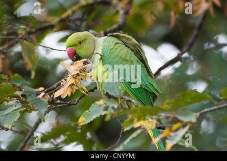 A feral ring-necked parakeet (Psittacula krameri) feeding on ash seeds in a tree in Richmond Park, Surrey. October. - Stock Photo