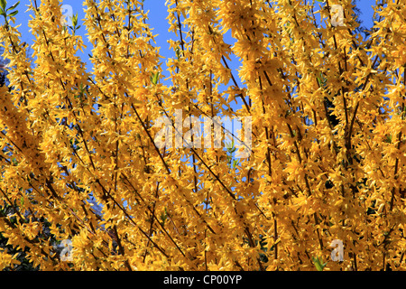 Common forsythia (Forsythia x intermedia, Forsythia intermedia), blooming branches - Stock Photo