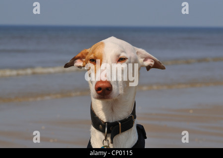 Ibizan Warren Hound, Ibizan Podenco (Canis lupus f. familiaris), portrait at the sea - Stock Photo