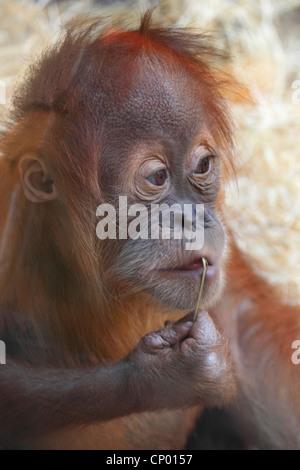 orang-utan, orangutan, orang-outang (Pongo pygmaeus), young animal - Stock Photo