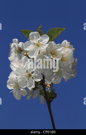 dwarf cherry, morello cherry, sour cherry (Prunus cerasus), blooming Sour cherry - Stock Photo