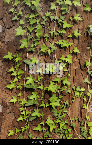 English ivy, common ivy (Hedera helix), climbing on a tree trunk, Germany - Stock Photo