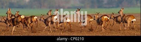roe deer (Capreolus capreolus), fleeing, Germany, Rhineland-Palatinate - Stock Photo