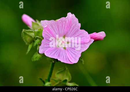 musk mallow, musk cheeseweed (Malva moschata), inflorescence, Germany, Baden-Wuerttemberg - Stock Photo