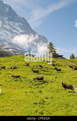domestic goat (Capra hircus, Capra aegagrus f. hircus), Alpine goats in Grindelwald Valley below Eiger, Switzerland, - Stock Photo