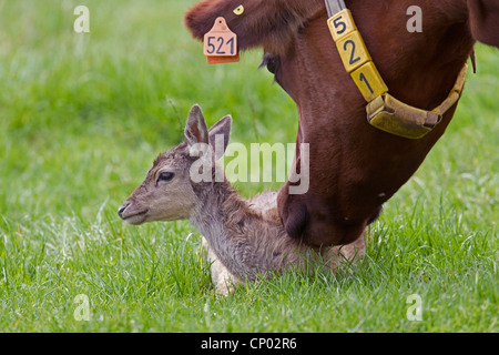 fallow deer (Dama dama, Cervus dama), fallow deer calf in a pasture together with domestic cattle, Germany, Schleswig - Stock Photo