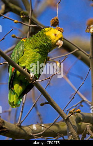 yellow-headed amazon (Amazona oratrix), sitting on a branch, Germany - Stock Photo