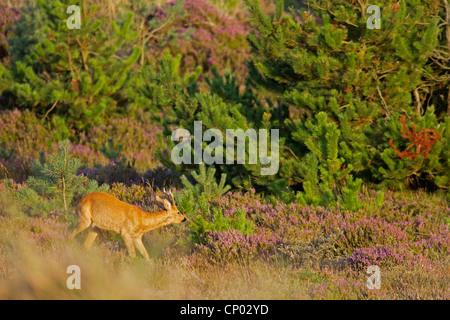 roe deer (Capreolus capreolus), buck in a heath, Denmark, Midtjylland, Jylland - Stock Photo