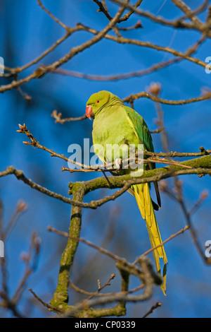 rose-ringed parakeet (Psittacula krameri), female sitting on a branch, Germany - Stock Photo