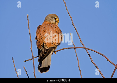 common kestrel (Falco tinnunculus), male sitting on a branch, Germany - Stock Photo