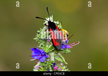 Transparent burnet (Zygaena purpuralis), sitting on blueweed, Echium vulgare, Germany - Stock Photo
