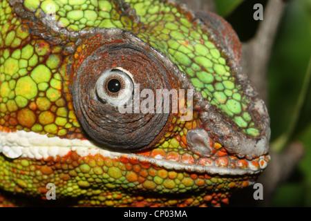 Panther chameleon (Furcifer pardalis), portrait - Stock Photo