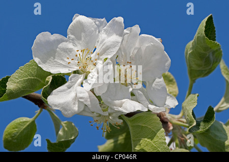 Apple tree malus domestica blooming apple tree in a for Domestica in svizzera