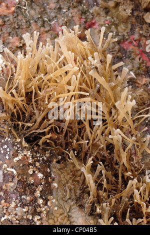 A bryozoan (Securiflustra securifrons : Flustridae) on rock, UK. - Stock Photo