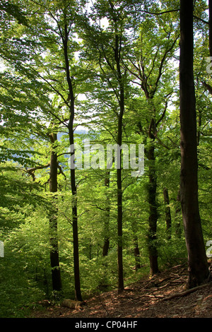 common beech (Fagus sylvatica), forest with beech and oak, Germany - Stock Photo