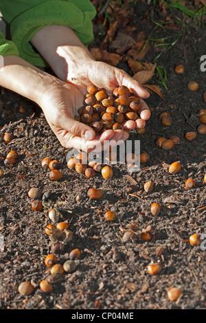 Common hazel (Corylus avellana), hands full of mature nuts, Germany - Stock Photo