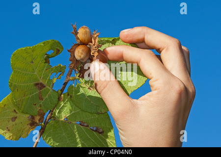 Common hazel (Corylus avellana), mature nuts being picked from a bush, Germany - Stock Photo
