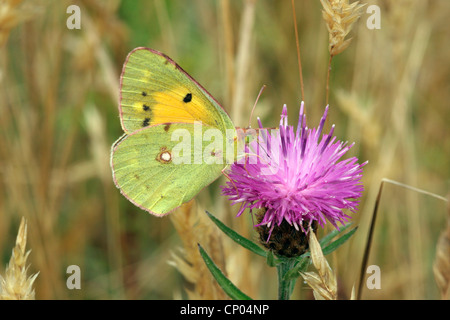 Clouded yellow butterfly (Colias croceus : Pieridae) male on knapweed, UK. - Stock Photo