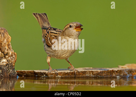 house sparrow (Passer domesticus), female sitting on the waterfront trinken, Germany, Rhineland-Palatinate - Stock Photo