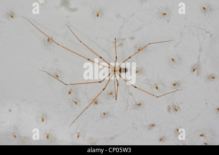 Long-bodied cellar spider, Longbodied cellar spider (Pholcus phalangioides), female with one day old juveniles in - Stock Photo