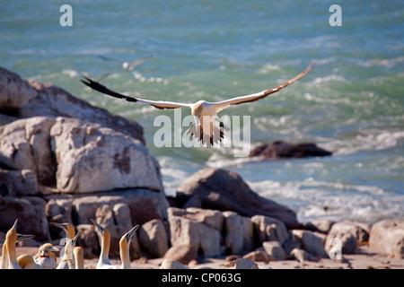 Cape gannet (Morus capensis), landing, South Africa, Western Cape, bird island Runde, Lambert's Bay - Stock Photo