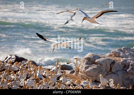 Cape gannet (Morus capensis), colonie at the beach, South Africa, Western Cape, Runde, Lambert's Bay - Stock Photo