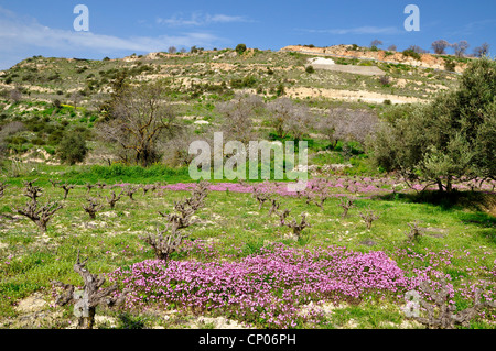 Silene fuscata (Silene fuscata), vineyard with Silene fuscata, Cyprus, Akamas - Stock Photo