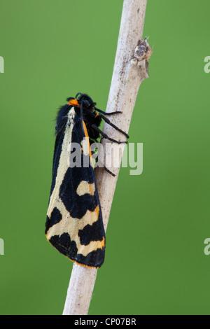 wood tiger (Parasemia plantaginis), sitting on branch, Germany, Rhineland-Palatinate - Stock Photo