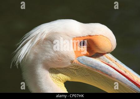 eastern white pelican (Pelecanus onocrotalus), portrait of pelican Quax in Luisenpark Mannheim, Germany, Luisenpark - Stock Photo