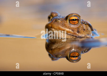 European common toad (Bufo bufo), in water, Germany, Rhineland-Palatinate - Stock Photo