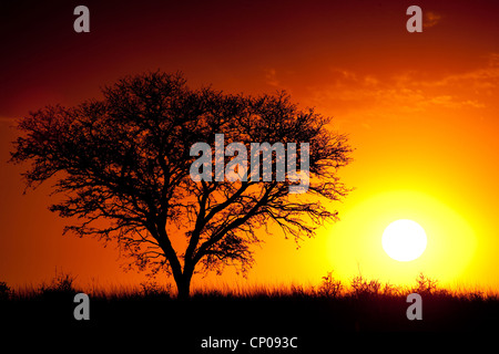 tree at sunset, South Africa, Northern Cape, Kgalagadi Transfrontier National Park, Askham - Stock Photo