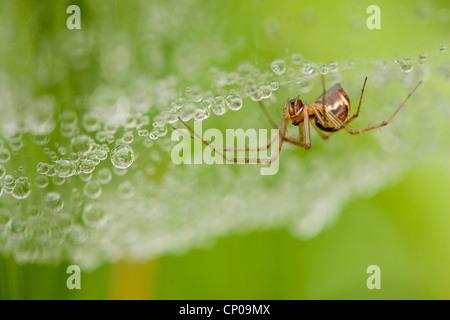 Sheet-web weaver, Sheet-web spinner, Line-weaving spider, Line weaver, Money spider (Linyphia triangularis), sitting - Stock Photo