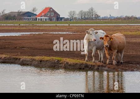 domestic cattle (Bos primigenius f. taurus), cows on pasture at inland lake, Netherlands, Zeeland - Stock Photo