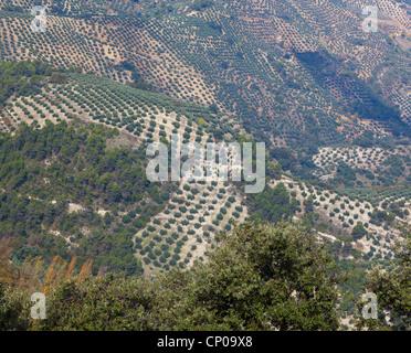 Olive groves near Burunchel, El Parque Natural de las Sierras de Cazorla, Segura y Las Villas,Jaen Province, Andalusia, - Stock Photo