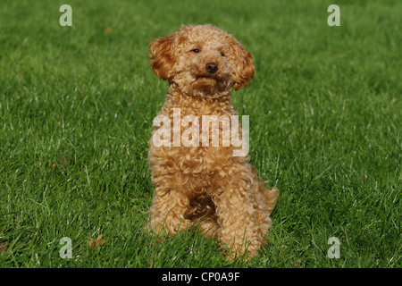 Miniature Poodle (Canis lupus f. familiaris), ten month old apricot-coloured toy poodle sitting in meadow - Stock Photo