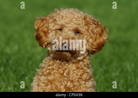 Miniature Poodle (Canis lupus f. familiaris), ten month old apricot-coloured toy poodle sitting in meadow, portrait - Stock Photo
