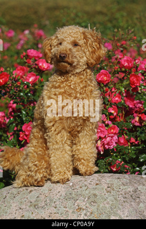 Miniature Poodle (Canis lupus f. familiaris), ten month old apricot-coloured toy poodle sitting on a stone - Stock Photo