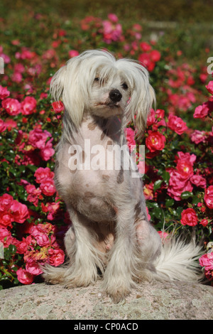 Chinese Crested Dog (Canis lupus f. familiaris), 16 months old individual in front of a rose hedge - Stock Photo