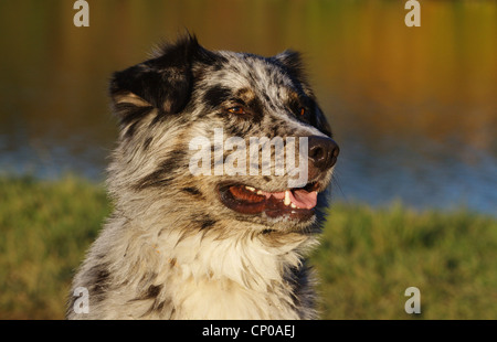 Australian Shepherd (Canis lupus f. familiaris), 3 years old mixed breed dog, portrait - Stock Photo