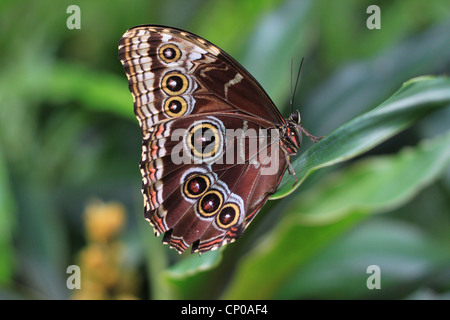 A Peleides Blue Morpho Butterfly (Morpho peleides). It's found in the rainforests of South America, Central America - Stock Photo