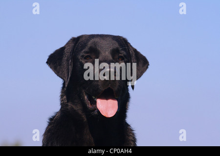 Labrador Retriever (Canis lupus f. familiaris), portrait of an eight month old individual - Stock Photo