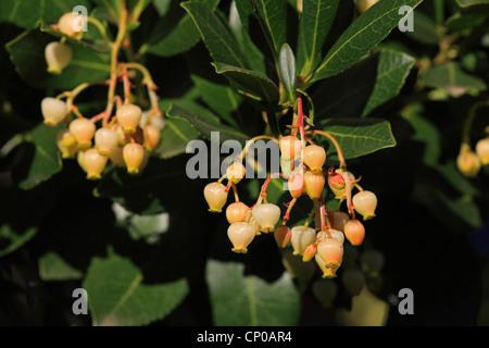 killarney strawberry tree (Arbutus unedo), blooming, Spain, Spain, Extremadura - Stock Photo