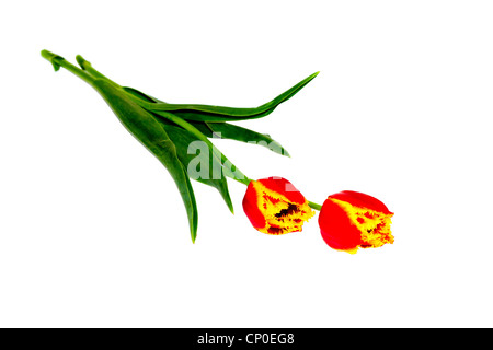 a two flowers are red yellow tulips - Stock Photo