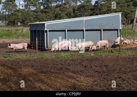 Free Range Pig Unit With Housing For Sows And Paddocks