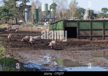 Free Range Pig Unit With Housing For Sows On Hillside