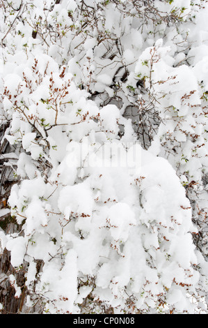 Piles of snow cover the twigs and branches of a lilac bush (Syringa vulgaris) in winter, Livingston, Montana, USA - Stock Photo