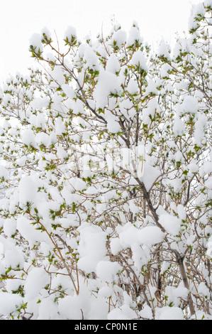 Snow covers the green leaves of a lilac bush (Syringa vulgaris), winter in Livingston, Montana, USA - Stock Photo