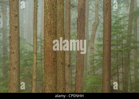 Fog and trees in forest, Mount Constitution, Moran State Park, Orcas Island, Washington. - Stock Photo