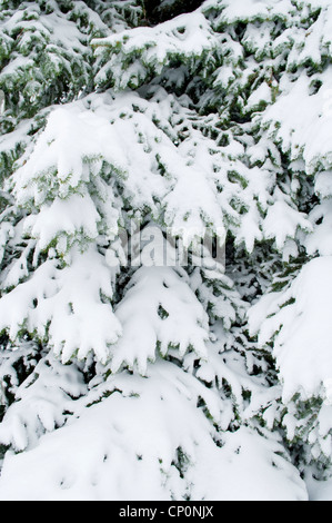 Snow covered branches of a Blue Spruce tree (Picea pungens) after a snowstorm in winter, Livingston, Montana, USA - Stock Photo
