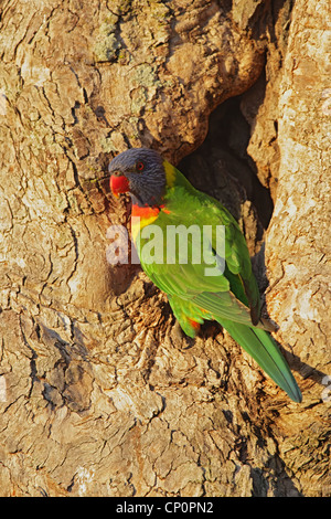 Rainbow Lorikeet (Trichoglossus haematodus) sitting at his nesting hole in a tree trunk on Bribie Island, Queensland, - Stock Photo